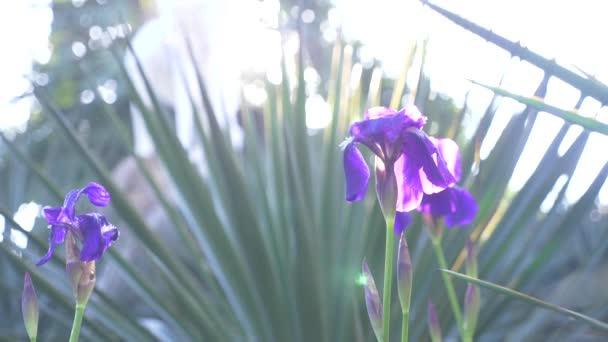 Modrý iris květiny na slunci s větrem. 4k, pomalý pohyb