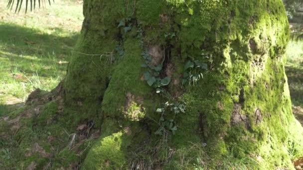 Kořeny a kmen obrovského stromu s bohatým krásnou texturou, zarostlé zeleným mechem v lese letní. 4k, pomalý pohyb