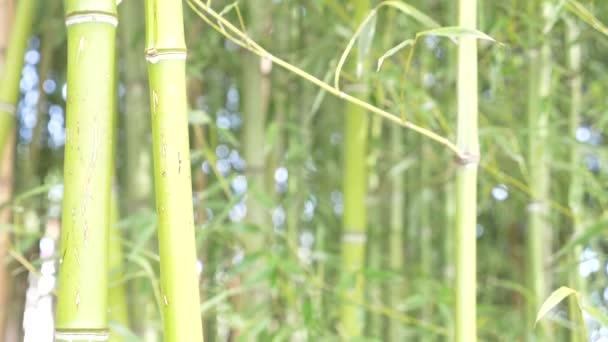Bambusbäume in einem Bambushain. 4k, Zeitlupe, Inschrift Hi am Stamm eines Baumes Bambus.