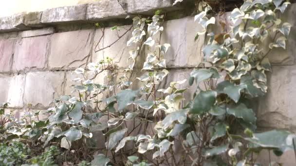színes ivy a kőfal. 4k, lassú mozgás