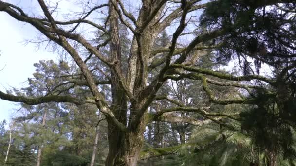 in der Nähe, 4k, Slow-Motion. Der Stamm und die Äste von einem riesigen Baum, dessen Zweige mit Moos bedeckt sind