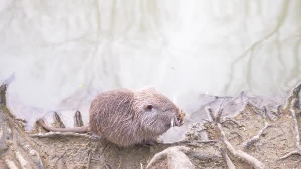 かわいい野生ふわふわあります、川のラット、ヌートリア、川の土手にパンを食べる。4 k があり、クローズ アップ、スローモーション