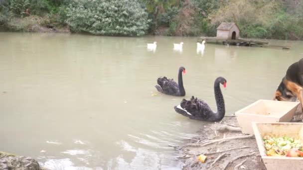 Zwei schwarze Schwäne schwimmen im See. Ein Paar schwarzer Schwäne schützt seinen Teich vor dem Hund, der am Ufer sitzt. Sie beobachten sie genau. 4k, Zeitlupe