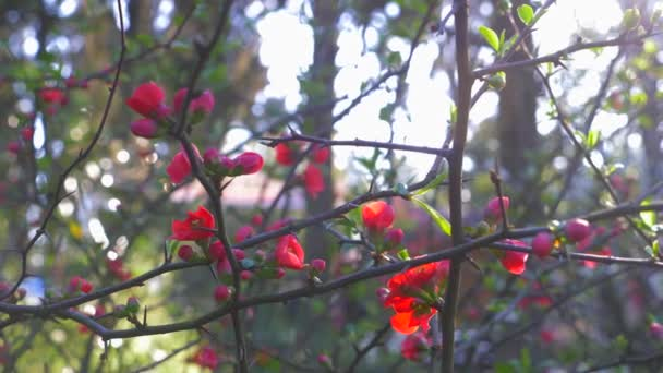 Japanese quince flowers. sun glare. 4k, slow motion