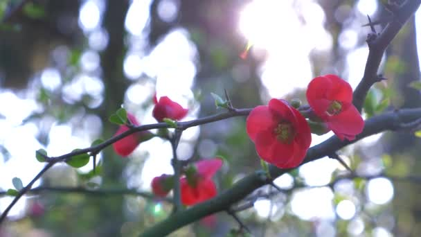 Japanese quince flowers, close - up. sun glare. 4k, slow motion