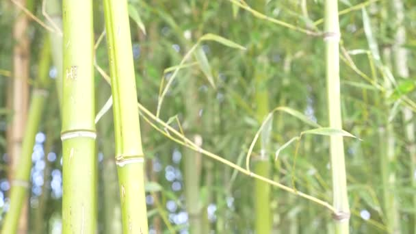 Bamboo trees in a bamboo grove. 4k, slow motion