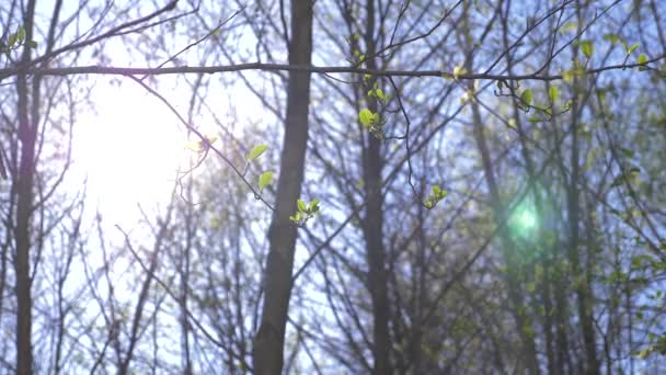 The spring nature. a clear blue sky and blossoming buds in the trees. green leaves against the background of clouds. Natural landscape of sky and tree. 4k
