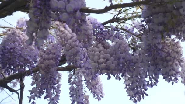 4k, Slow-motion shooting. spring blossoms. vines with flowers and leaves of violet wisteria. Sky clouds.
