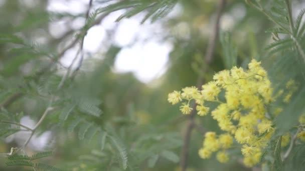 Mimosa jarní květiny velikonoční pozadí. Kvetoucí mimosa strom. detail. 4k, pomalý pohyb