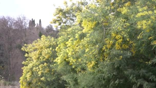 Mimosa jarní květiny velikonoční pozadí. Kvetoucí mimosa strom proti obloze. 4k, pomalý pohyb