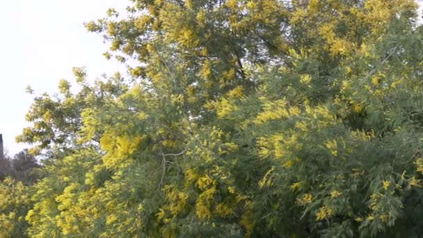 Mimosa tavaszi virágok húsvéti háttér. Virágzó mimóza fa ég ellen. 4k, lassú mozgás