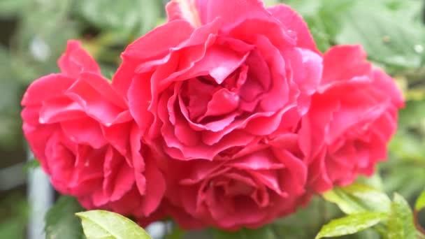 közelről. 4 a virág után eső rózsaszín rózsa k..