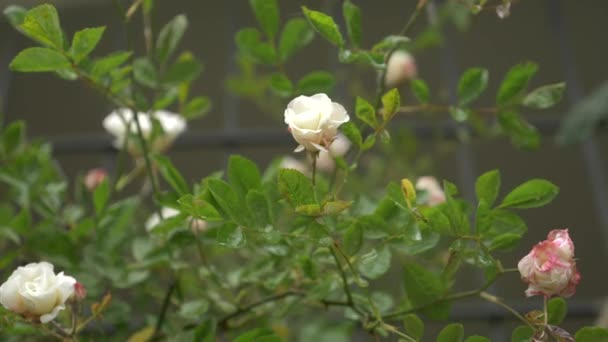 Large bush with flowering white pink roses for vertical landscaping large bush with flowering white pink roses for vertical landscaping during the rain mightylinksfo