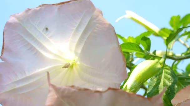 nagy gyönyörű rózsaszín virágok Datura.