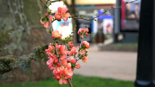 red flowers of Japanese quince on the streets. closeup. blurred background