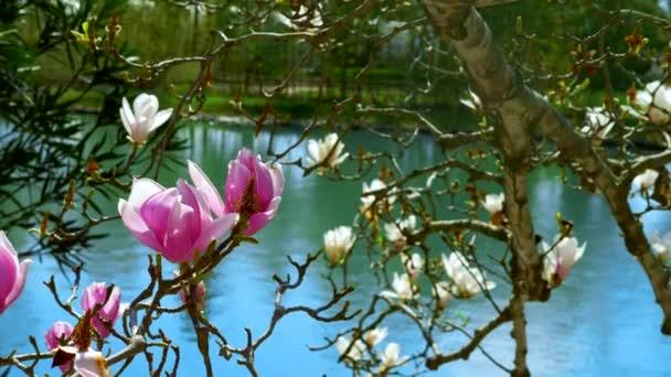 krásné květy růžové a bílé magnólie u rybníka. přírodní pozadí.