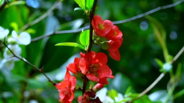 beautiful red and white flowers of Japanese quince in the garden against the sky