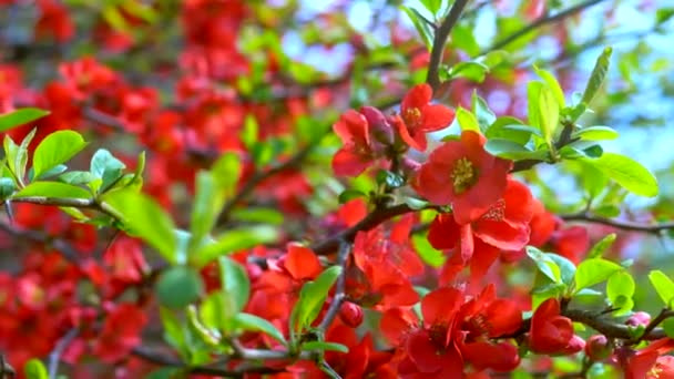 beautiful red flowers of japanese quince in the garden against the sky