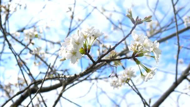 virágzó almafák. fehér virágok a kék ég ellen. közelkép.