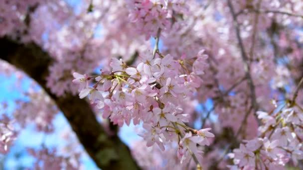 sakura květiny na pozadí mladých listoví stromů a modré oblohy