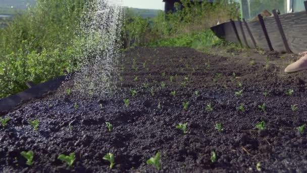 Nahaufnahme. Gießen aus der Gießkanne im Gartenboden mit Erbsensprossen