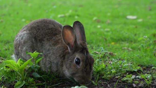 Divocí šedí králíci jedí trávu v parku