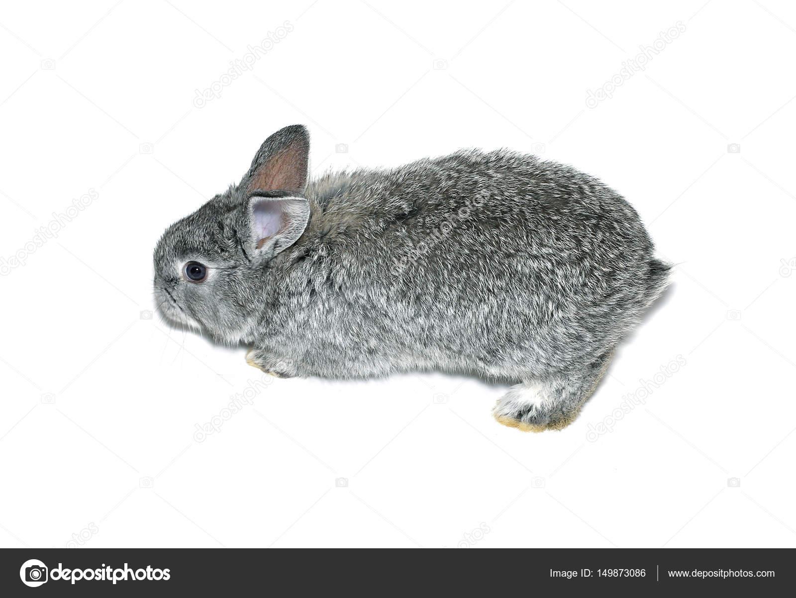 Chinchilla cinsi tavşan: açıklama