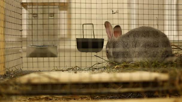 Kaninchen züchten graue Chinchilla in einem Käfig