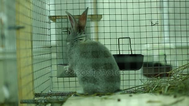 Malé plemeno králíka šedá stříbrná Činčila