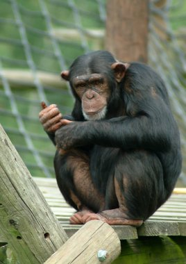 Portrait of a Chimpanzee