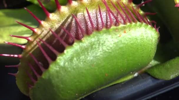 plante carnivore guepe
