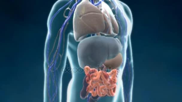 Animación Del Aparato Gastrointestinal Humano Del Tracto ...