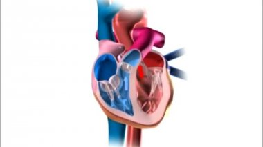 Functioning of human heart 3d illustration