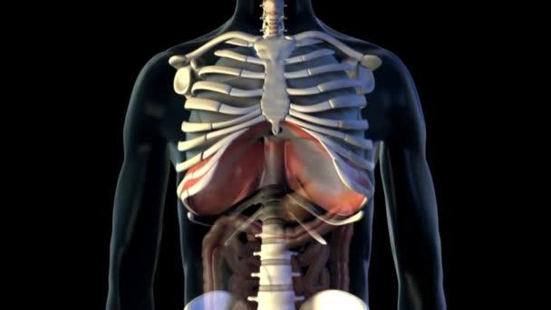 Männliche Lunge Herz Bronchus Medizinische Scan Anatomie ...