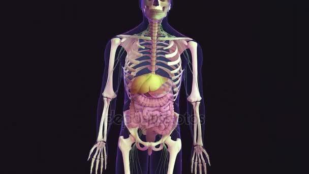 Ilustración 3D de partes del sistema digestivo humano y funciones ...
