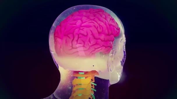 Der Hypothalamus, Nervensystem, 4k. Ultra Hd — Stockvideo ...