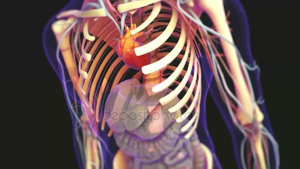 Human Body Organs Heart With Nervous System Anatomy 3d Stock