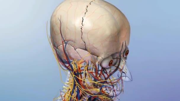 Skelett System Vollständige Animation Körper Transparent Blau ...