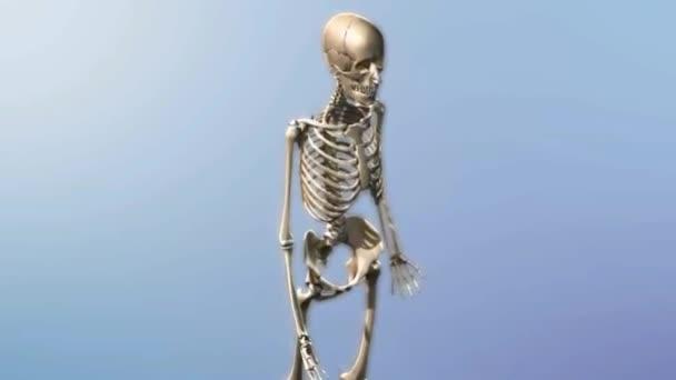 Sistema Esquelético Con Animación Transparente Los Músculos — Vídeo ...
