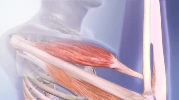Skelett Systems Mit Muskeln Transparent Animation Alpha Enthalten ...