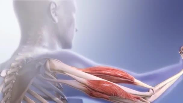 Bones Skeletal Muscles Skeletal System Muscles Transparent Animation ...