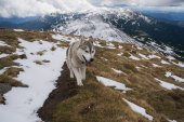 Fotografie husky dog in snowy mountains