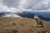 Fotografia cane husky