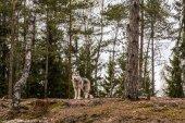 malamut pes v podzimním lese