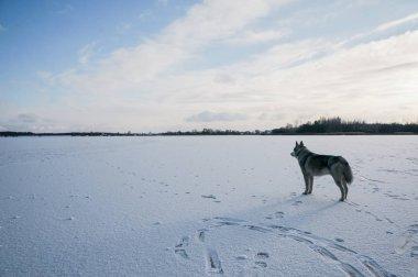 malamute dog on snowy field