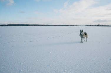 Furry malamute dog standing on snowy field, Belarus, Lahoysk stock vector