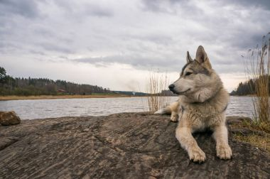 malamute dog resting on rock