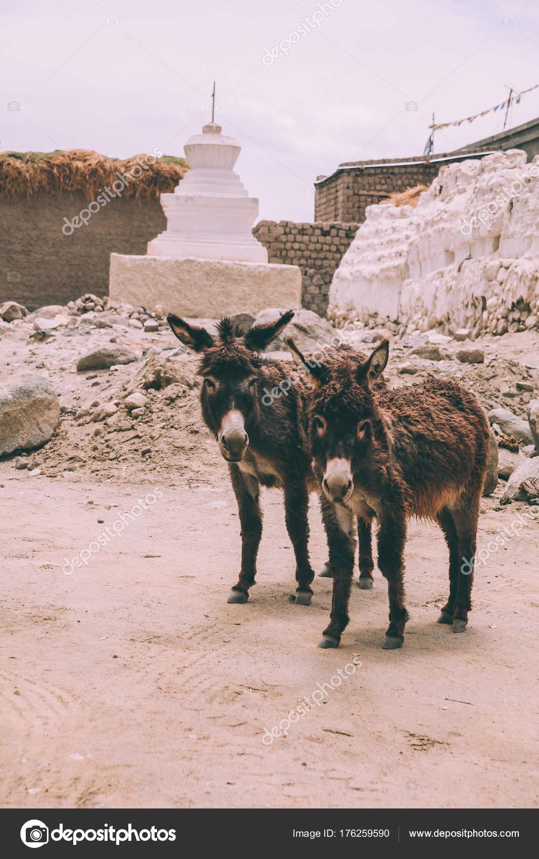 Zwarte dikke ezels