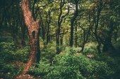 majestátní zelený Les v indickém Himálaji, Dharamsala, Baksu