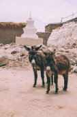 two funny donkeys looking at camera while standing near stupa in Leh, Indian Himalayas